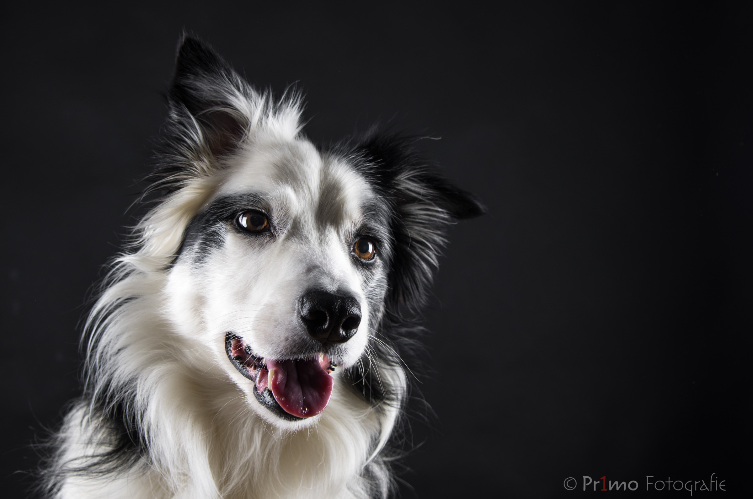 Border collie in de studio